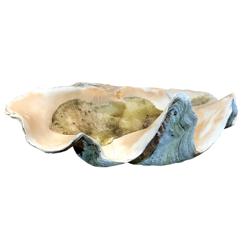 Spectacular Large Shell